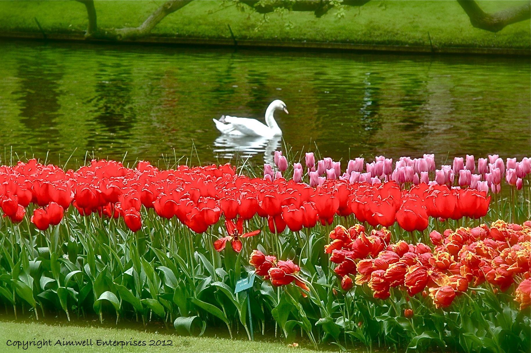 Swan Keukenhof Gardens Holland Eyes To Heart