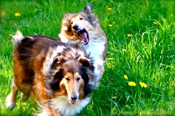 collies at play