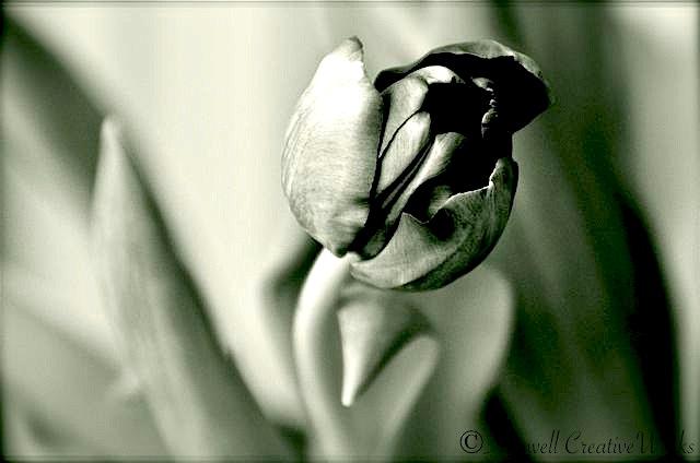 Tulip b&w