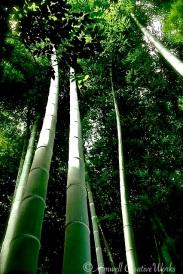 Bamboo ... Yokohama, Japan