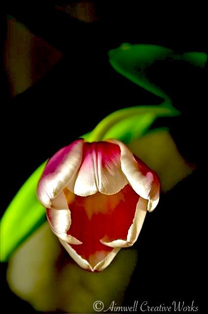 Smiling Tulip