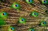 Peacock pattern ~ Taronga Zoo, Sydney, Australia