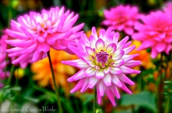 Dahlias of every colour punctuated her flower beds.