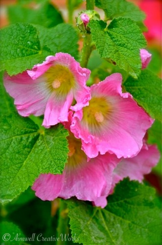 Granny loved hollyhocks. I remember these towering flowers lining a portion of the garden fence.