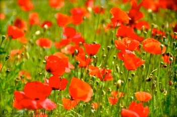 Granny loved poppies. Perhaps they reminded her of her brother who was killed in the Second World War ...