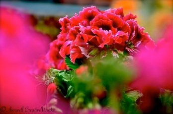 Focus on Geranium