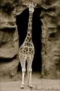 Focus on Giraffe