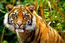 Focus on Tiger
