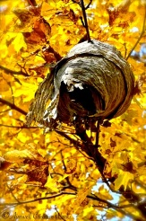 A wasps nest abandoned ...