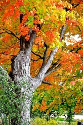 Maple glory in Southern Ontario