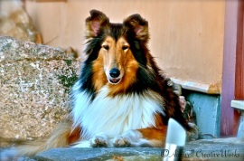 "Sass was our first ""child"" together. Sass (aka Ennismoor Element of Time) entered our lives in 2002 when she was a four-month-old puppy. She is a champion Rough Collie with three litters to her credit (27 puppies in total ~ many of them champions). She's ""daddy's girl,"" and will be 12 years old in April."