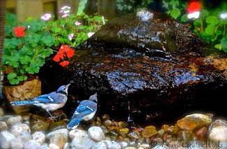 Blue Jays at the Watering Hole