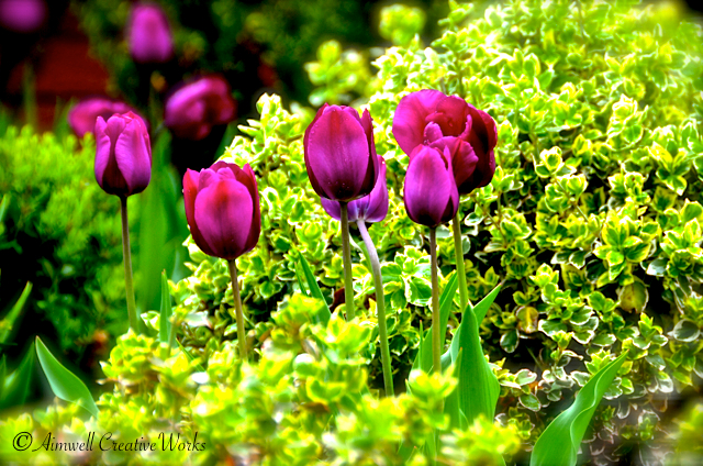 Longed For Tulips