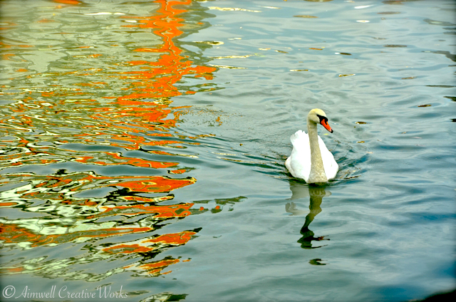 A swan upon the River Thames, Windsor, Berkshire