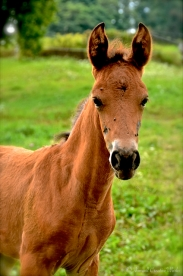 Hello, my name is Dancer. I'm a baby Paso Fino and everybody thinks I'm cute.