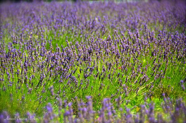 Lavender Fix
