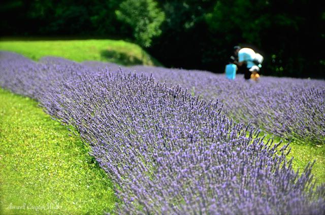 Purple Wonder.jpg